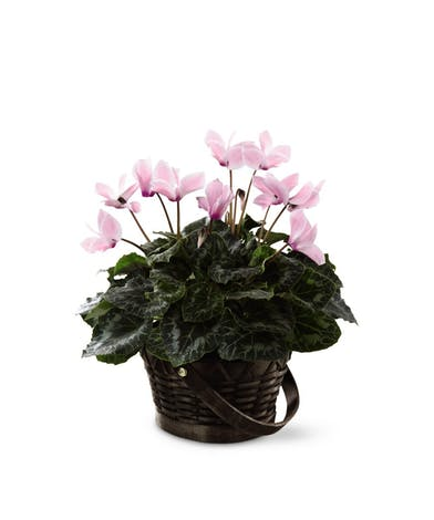 Pink Cyclamen Flower Delivery - Same-day Delivery