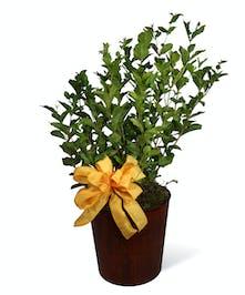 Jasmine Plant Uniontown, PA