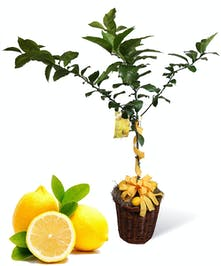 Lemon Tree Uniontown, PA