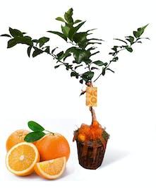 Orange Tree Uniontown, PA