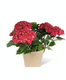 Red Hydrangea Plant - Neubauer's Flowers