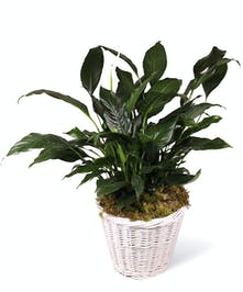Peace Lily Plant Delivery Uniontown (PA) Neubauer's Flowers