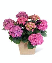 Purple Hydrangea Plant Uniontown (PA) Neubauer's Flowers