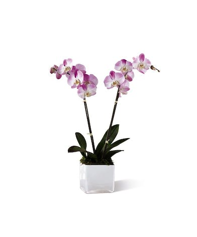 Symapthy Orchid Planter Delivery - Same-day Delivery - Neubauer's Flowers & Gifts