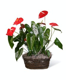 Red Anthurium Planter