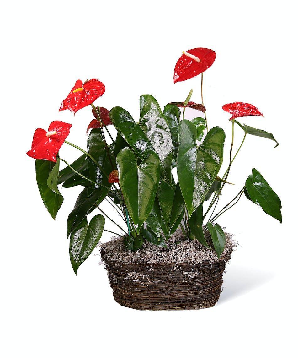 Red Anthurium Planter