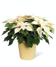White Poinsettia Uniontown, PA
