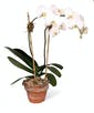 White Phalaenopsis Orchid - 2 Stem