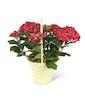 Hydrangea - Red