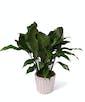 Peace Lily Plant - Exquisite