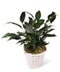 Peace Lily Plant - Premium