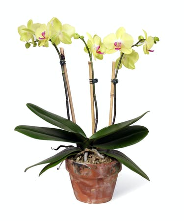 Green Phalaenopsis Orchids
