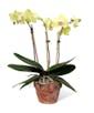 Green Phalaenopsis Orchid - 3 Stem