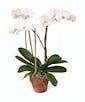 White Phalaenopsis Orchid - 3 Stem