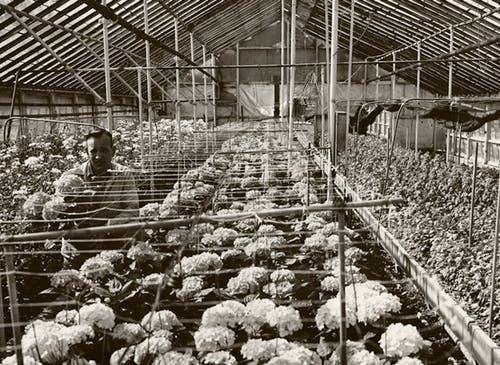 A Neubauer's employee tends to flowers in our greenhouse, circa 1950